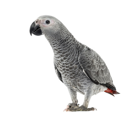 african grey parrot: African Grey Parrot in front of a white