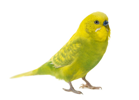 isolated on yellow: Budgerigar, Melopsittacus undulatus, in front of a white