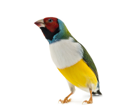 domestic: Gouldian Finch, Erythrura gouldiae, in front of a white