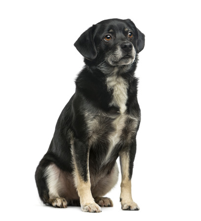 5 years: Mixed-breed (5 years old) in front of a white  Stock Photo
