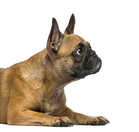 2 years old: French Bulldog (2 years old) in front of a white  Stock Photo