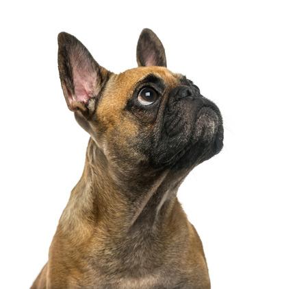 bulldog: Bulldog franc�s (2 a�os) delante de un fondo blanco Foto de archivo
