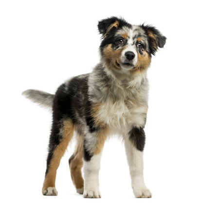 3 5: Australian Shepherd (3,5 months old) in front of a white