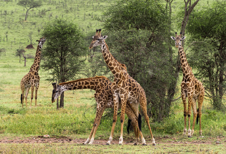 large group of animals: Herd of giraffe, Serengeti, Tanzania, Africa