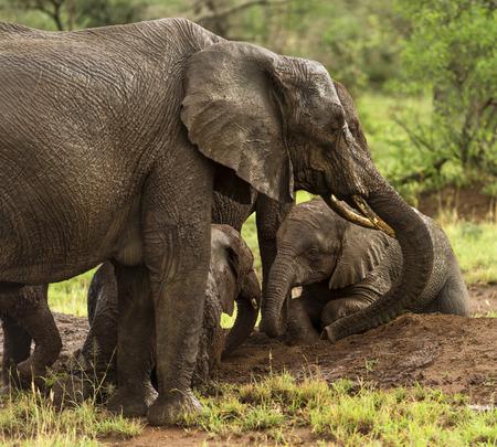 large group of animals: Herd of elephants resting, Serengeti, Tanzania, Africa Stock Photo