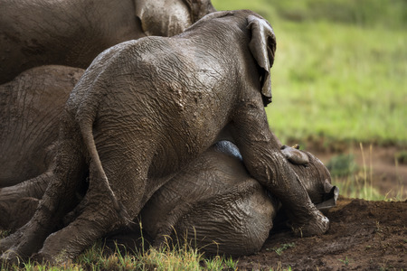 Young elephant playing, Serengeti, Tanzania, Africa photo