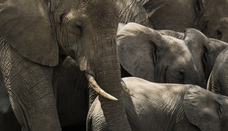 large group of animals: Close-up of a herd of elephants, Serengeti, Tanzania, Africa