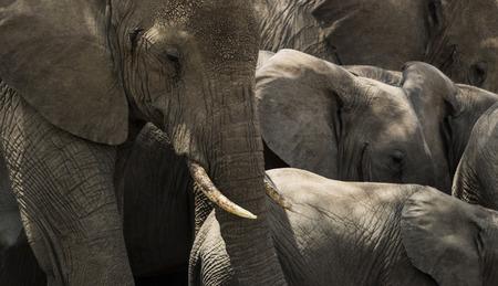 elephant head: Close-up of a herd of elephants, Serengeti, Tanzania, Africa