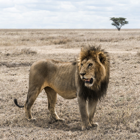 standing lion: Dirty lion standing in the savannah, Serengeti, Tanzania, Africa