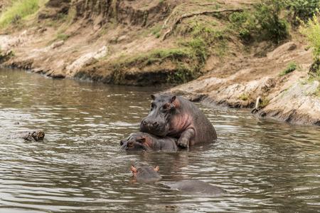 copulate: Hippos mating in river, Serengeti, Tanzania, Africa