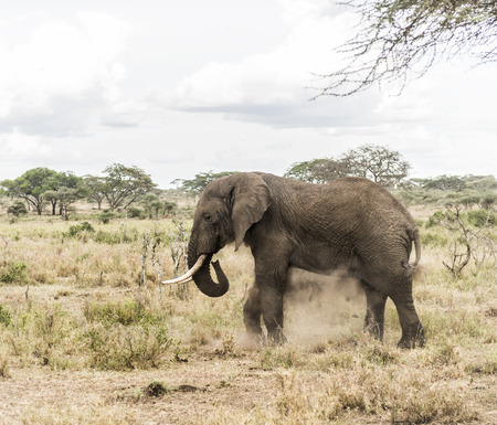 herbivorous animals: Elephant dust bathing, Serengeti, Tanzania, Africa Stock Photo