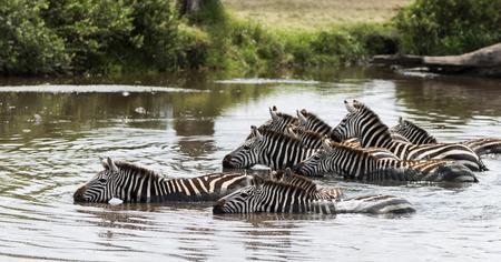 large group of animals: Zebra drinking in the river, Serengeti, Tanzania, Africa Stock Photo