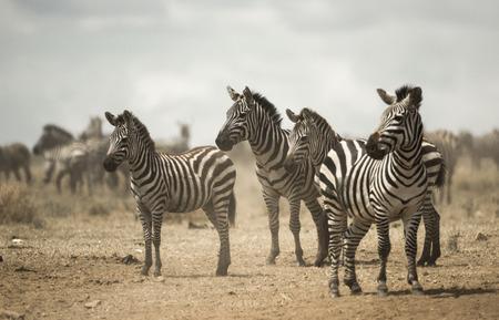 large group of animals: Zebra standing, Serengeti, Tanzania, Africa