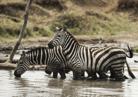 large group of animals: Zebras standing and drinking in a river, Serengeti, Tanzania, Africa Stock Photo