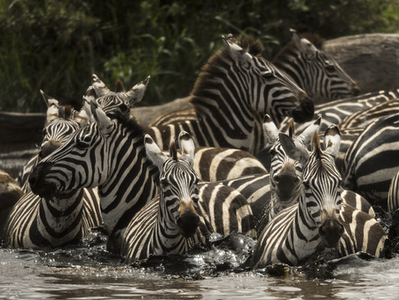 large group of animals: Zebras walking in a river, Serengeti, Tanzania, Africa Stock Photo