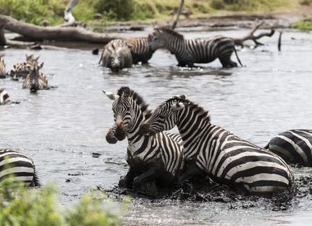 large group of animals: Zebras fighting in a river, Serengeti, Tanzania, Africa
