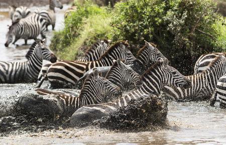 large group of animals: Zebras galloping in a river, Serengeti, Tanzania, Africa