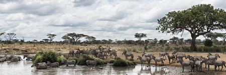 cebra: Manada de cebras descansando junto a un r�o, Serengeti, Tanzania, �frica