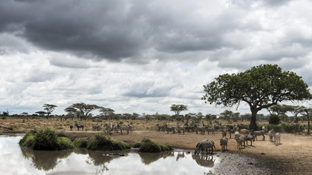 Herd of zebras resting by a river, Serengeti, Tanzania, Africa photo