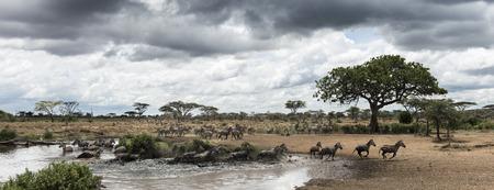 zebra: Manada de cebras descansando junto a un río, Serengeti, Tanzania, África