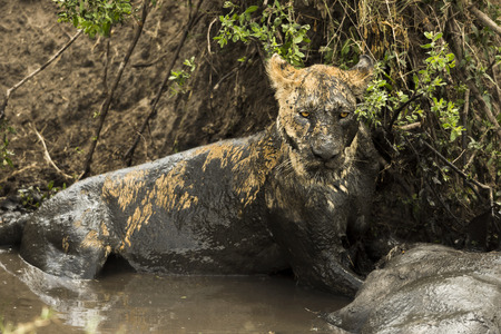 muck: Lioness lying next to its prey in a muddy river, Serengeti, Tanzania, Africa Stock Photo