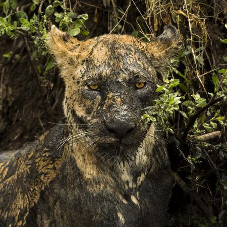 muck: Close-up of a dirty lioness, Serengeti, Tanzania, Africa