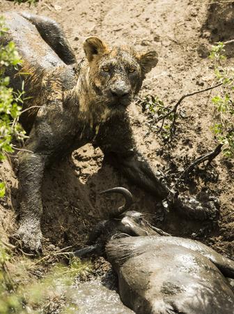 muck: Dirty lioness lying next to its prey, Serengeti, Tanzania, Africa Stock Photo