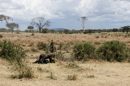 muck: Dirty lioness standing next to its prey, Serengeti, Tanzania, Africa Stock Photo