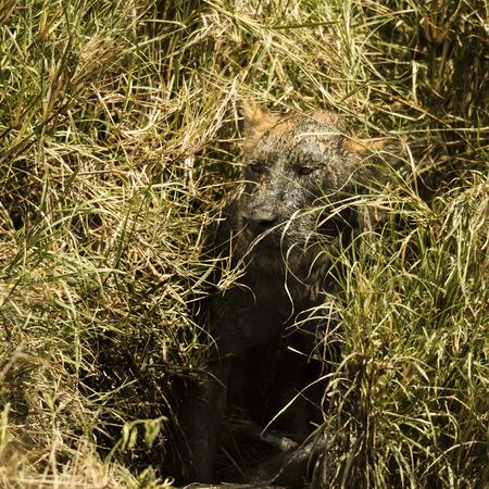 are hidden: Dirty lioness hiding in the bush, Serengeti, Tanzania, Africa Stock Photo