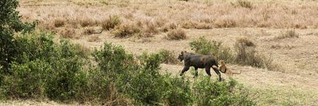 muck: Dirty lioness walking with its cub, Serengeti, Tanzania, Africa Stock Photo