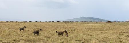 tanzania: Hyena holding a prey, Serengeti, Tanzania, Africa