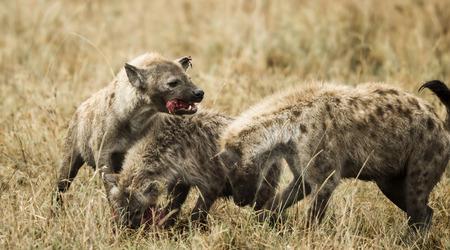 hienas: Las hienas comer, Serengeti, Tanzania, África