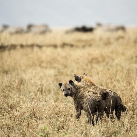 tanzania: Two hyneas standing, Serengeti, Tanzania, Africa