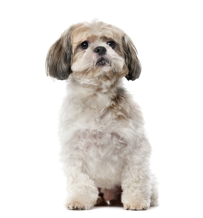 8 years old: Shih Tzu (8 years old) in front of a white