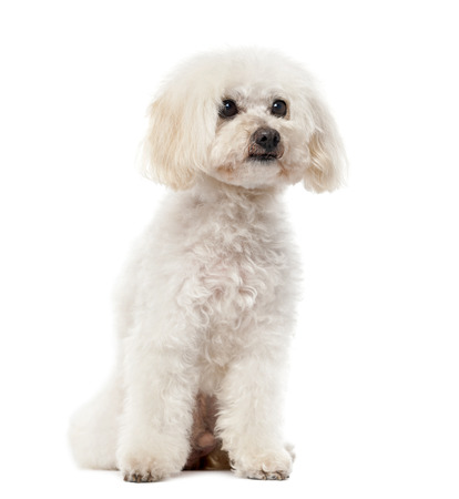11 years: Poodle (11 years old) in front of a white  Stock Photo