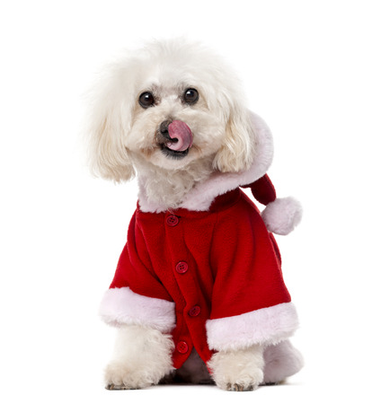 11 years: Poodle wearing a Santa coat (11 years old) in front of a white  Stock Photo