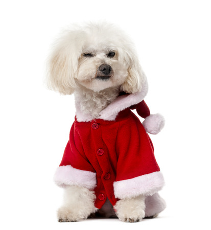 11 years: Poodle wearing a Santa pug (11 years old) in front of a white