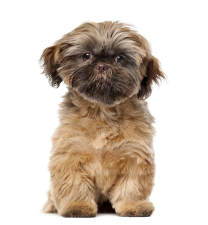 shih tzu: Shih Tzu puppy (5 months old) in front of a white