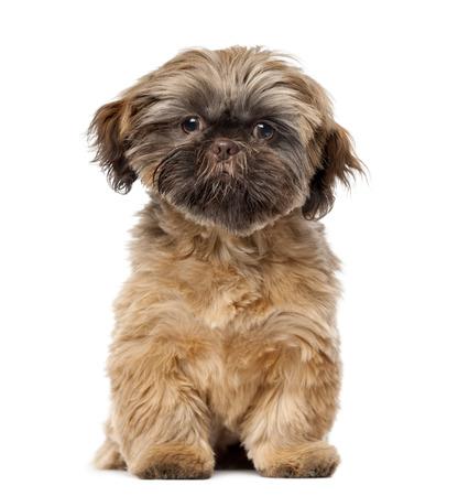 shih tzu: Shih Tzu puppy (5 months old) in front of a white