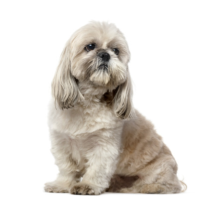 tzu: Shih Tzu (5 years old)