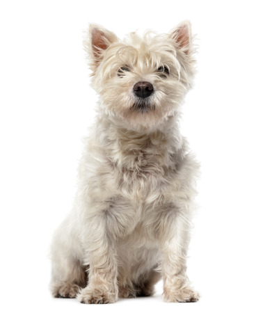 shaggy: West Highland White Terrier (12 years old) in front of a white