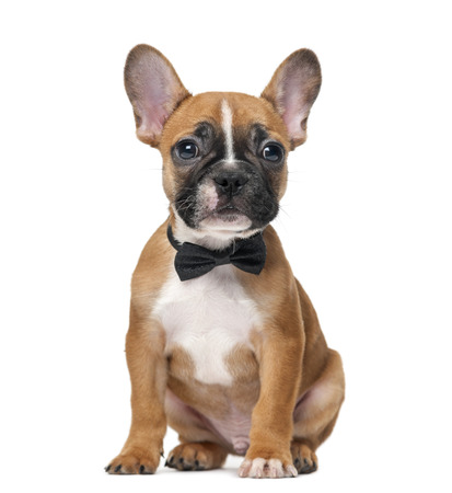 lazo negro: Cachorro de bulldog franc�s que lleva una pajarita delante de un fondo blanco Foto de archivo