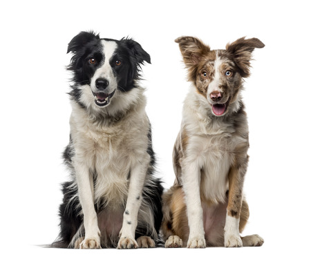 collies: Two Border collies in front of a white