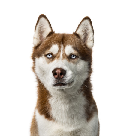 brown white: Siberian Husky (2 years old) in front of a white  Stock Photo