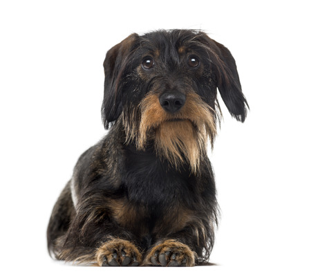 2 years old: Dachshund (2 years old) in front of a white background Stock Photo