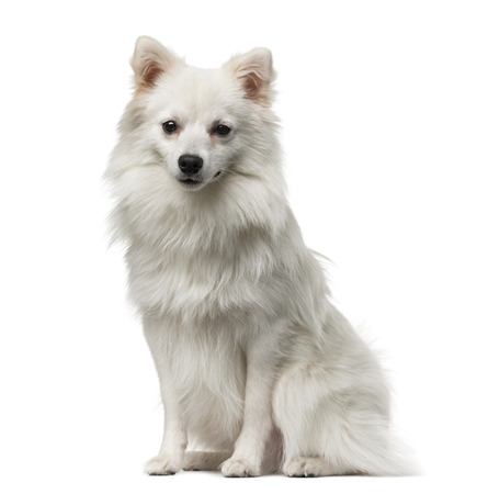 1 year old: German Spitz (1 year old) in front of a white  Stock Photo