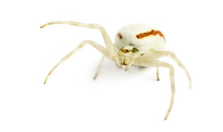 vatia: Golden Crab Spider, Misumena vatia in front of a white