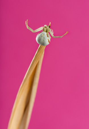 misumena: Golden Crab Spider, Misumena vatia, on a blade of grass in front of a pink background