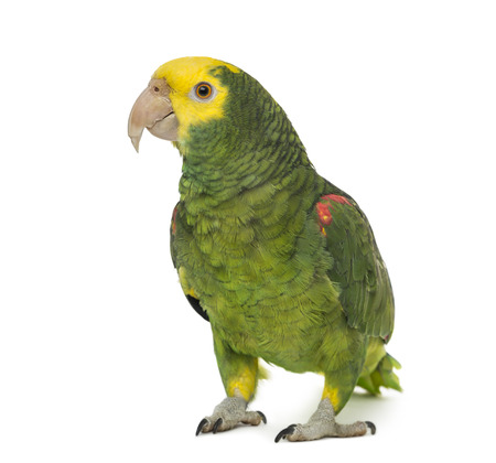 Yellow-headed amazon, Amazona oratrix, in front of a white  Stock Photo
