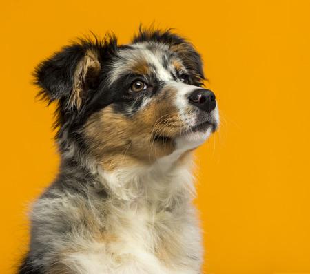 3 5: Australian Shepherd (3,5 months old) in front of an orange
